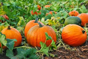 Growing Perfect Pumpkins